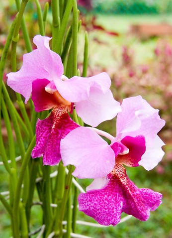 Vanda Miss Joaquim, National Flower of Singapore