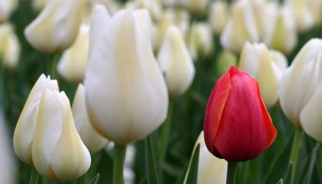 A single red tulip among white tulips